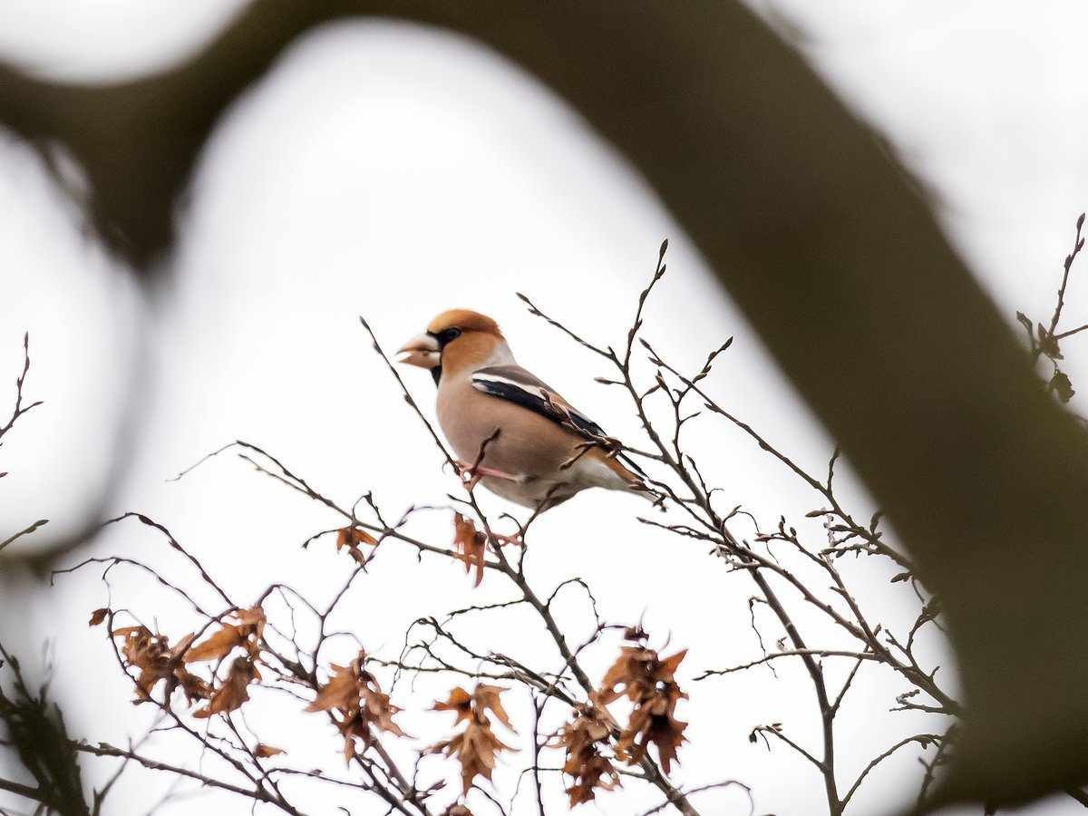 Of Hawfinches and Karma